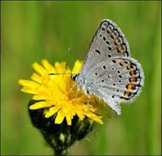 usfws wisconsin field office karner blue butterfly