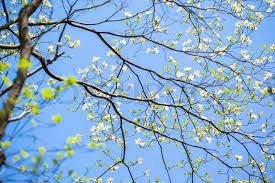 white flowering dogwood white flowering dogwood tree cornus florida in bloom in blue sky