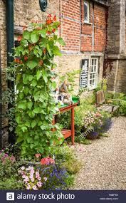 climbing runner bean plants in a small courtyard garden in uk
