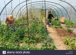 Green House Kitchen by Gardeners In A Kitchen Garden And A Greenhouse Watering And