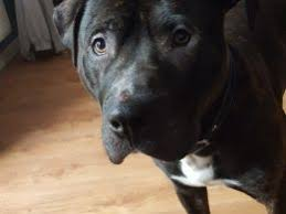 belgian shepherd x staffy staffordshire bull terrier dogs and puppies for sale in bristol