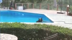 tomonews bear cools off in backyard swimming pool as