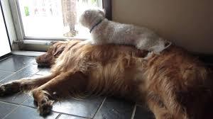 poodle vs bichon frise bichon frise heidi u0026 golden retriever romeo hanging out youtube
