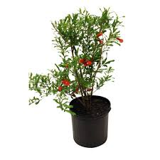 fruit trees plants edible garden the home depot russian pomegranate tree
