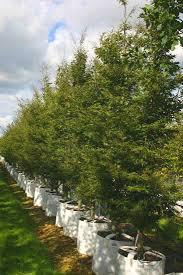 fagus sylvatica buy cut leaved beech trees fagus sylvatica asplenifolia
