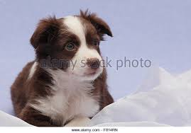 australian shepherd 4 weeks old miniature australian shepherd stock photos u0026 miniature australian