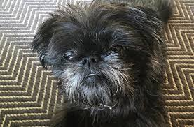 affenpinscher and chihuahua 11 dog breeds that give the best side eye barkpost