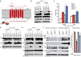 phosphorylation of irhom2 at the plasma membrane controls