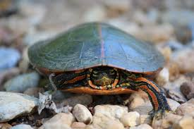 Texas Map Turtle Turtles Outdoor Alabama
