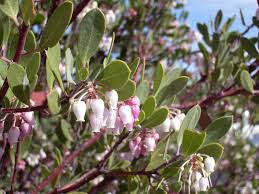 manzanita tree manzanita tree manzanita tree