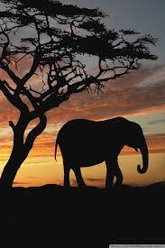 apple wallpaper elephant elephant wallpaper for iphone