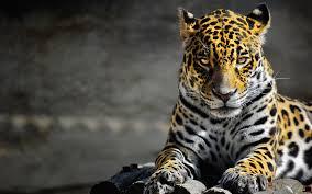 jaguar wallpaper animal hd desktop wallpapers 4k hd