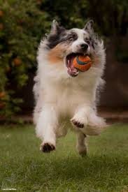 lifespan of australian shepherd longest living dogs u003c u003e australian shepard 13 maximum life