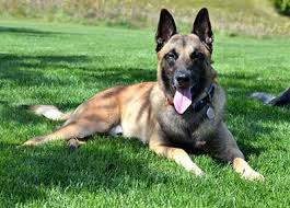 belgian shepherd x rottweiler belgian malinois vs german shepherd which is the best family dog