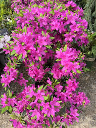 elkhorn native plant nursery azalea u0027karen u0027 plants pinterest plants and flowers