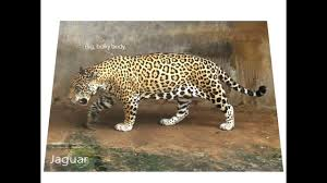 differences between jaguars leopards and cheetahs youtube