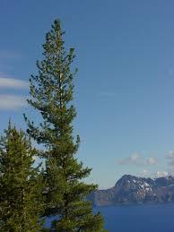 white pine tree western white pine trees