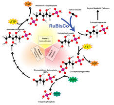 The Light Reactions Of Photosynthesis Use And Produce Photosynthesis Wikipedia