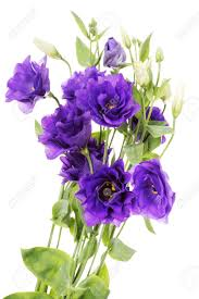 Lisianthus Lisianthus Stock Photos U0026 Pictures Royalty Free Lisianthus Images