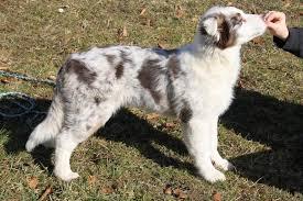 australian shepherd mit 6 monaten wachstum australian shepherd aussie de