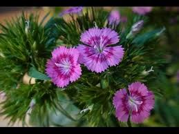 dianthus flower stunning dianthus flower time lapse