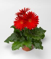 gerbera plant 2013 year of the gerbera elephant scarlet on order again for