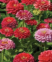 exquisite zinnia seeds and plants annual flower garden at burpee com