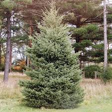 black spruce tree for sale fast growing trees