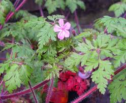 plants native to hawaii herb robert identification and control geranium robertianum