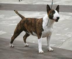 yarrow affenpinscher dog show 2014 06 01
