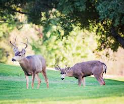 When Do Deer Shed Their Antlers by Golfing With Deer La Verne Magazine