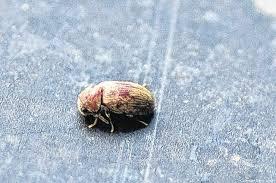 larven in der k che nachrichten robbys experte kleine käferchen in der küche