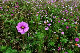 autumn flower field tall pink flower flowers free nature