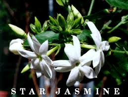 Which Jasmine Plant Is Most Fragrant - your favorite plants