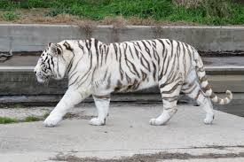 white tiger wikipedia