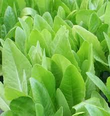 best 25 lettuce seeds ideas on pinterest planting lettuce seeds
