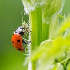 Ladybug Resume Lady Beetles Hippodamia Convergens Planet Natural