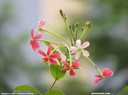 plants and flowers of india rangoon creeper punemate