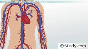 Outline The Anatomy And Physiology Of The Human Body Circulatory System Ii The Human Vascular System Video U0026 Lesson