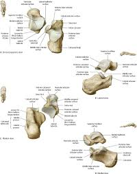 Sole Of The Foot Anatomy Ankle U0026 Foot Atlas Of Anatomy