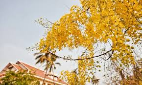 golden shower one of the most gorgeous trees in the world