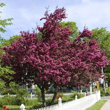 flowering crabapple trees for sale fast growing trees