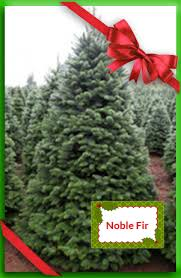 noble fir ricks trees