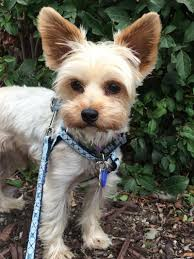 i found bobby in northern ca on animal yorkie haircuts and yorkies