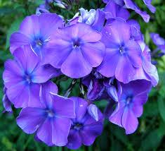 Phlox Flower April Gbbd Native Phlox For Your Garden Carolyn U0027s Shade Gardens