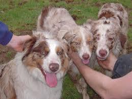 australian shepherd red merle puppy 190 best australian shepherds the best dogs ever images on