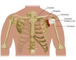 Anatomy Of Rotator Cuff Ei 0382 Jpg