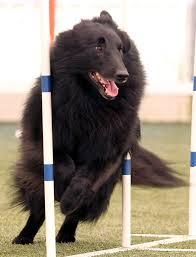 belgian sheepdog groenendael rescue 2008 wilsonville or belgian sheepdog club of america