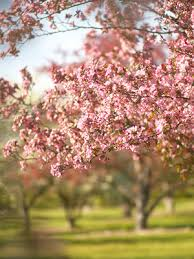 trees with pink flowers the best flowering trees and shrubs
