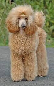 poodles long hair in winter 197 best toy poodle standar and miniature central europe germany